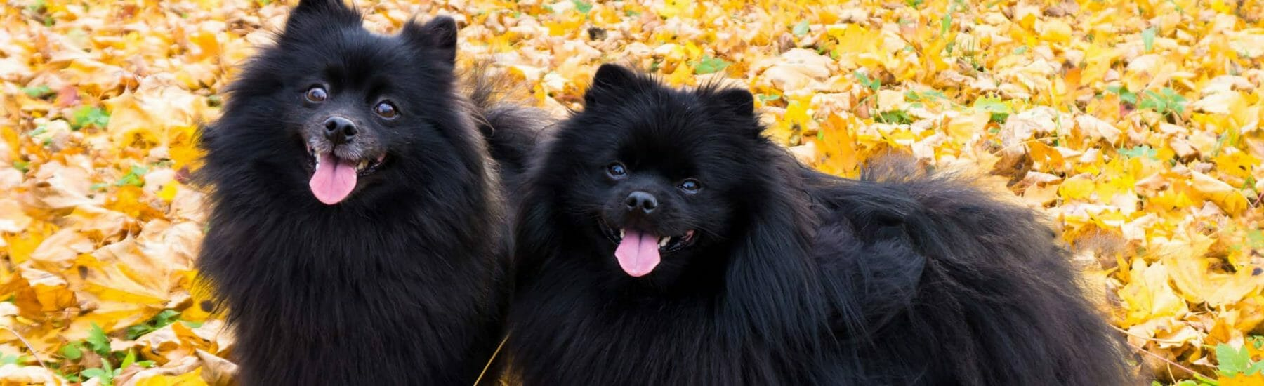 Two black fluffy dogs standing in leaves