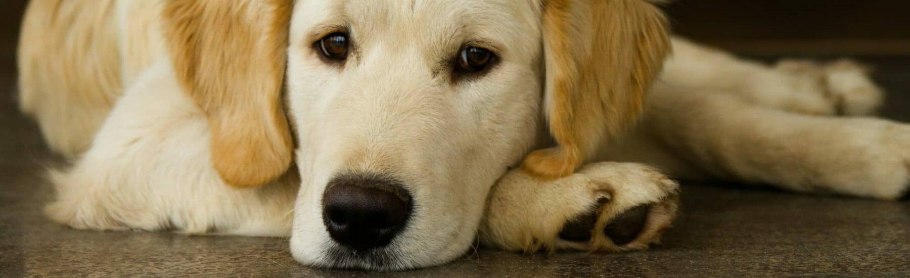 Sad puppy lying down