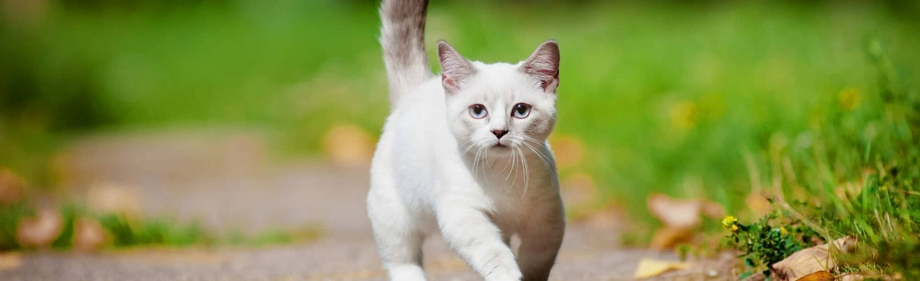White cat walking on a path