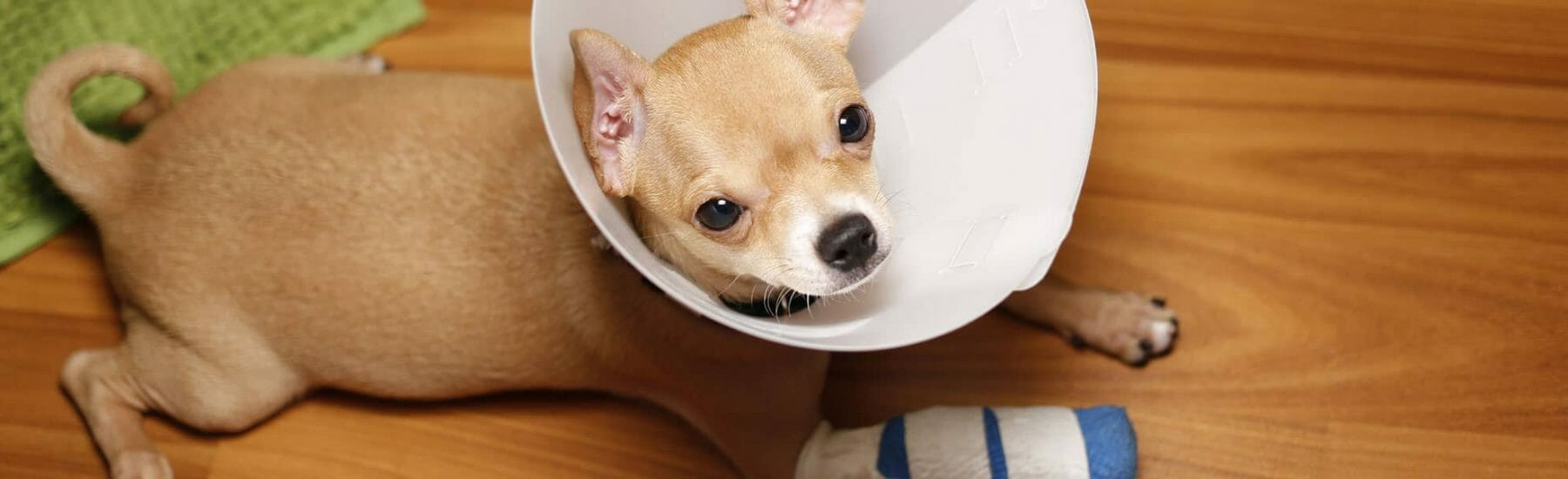 Dog with a bandaged arm and wearing a cone